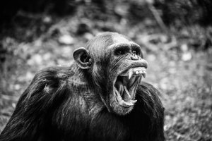 monkey scream